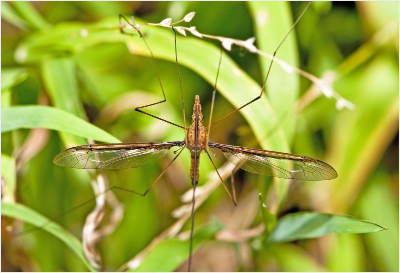 Fly with long antana