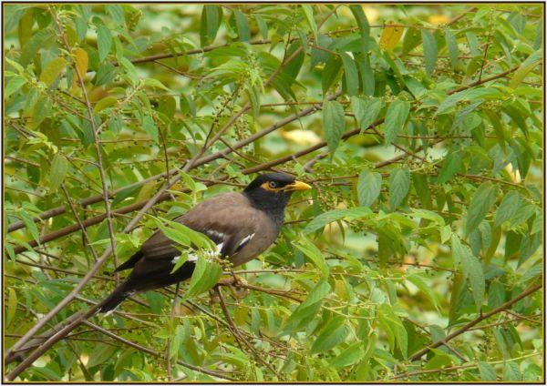 Indian minor bird