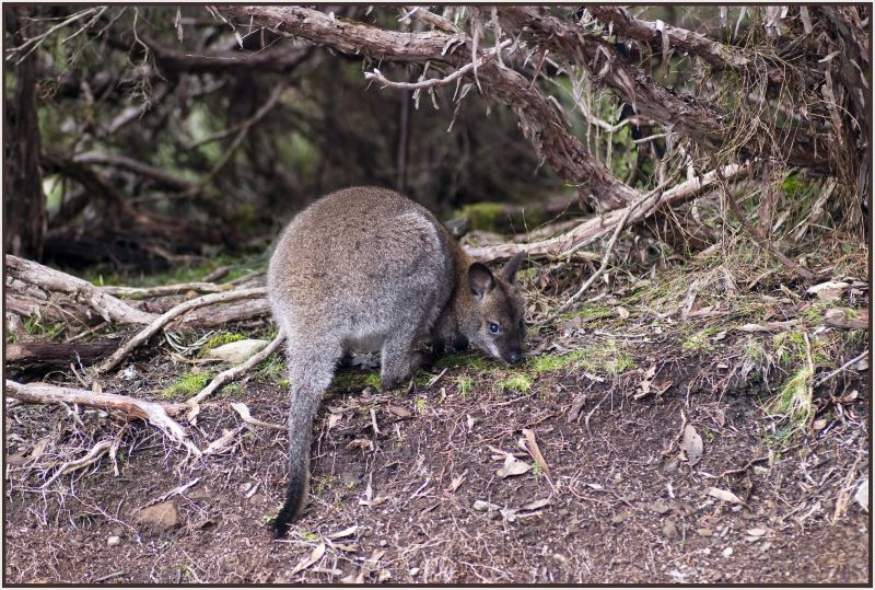 kangaroo cradle mountain