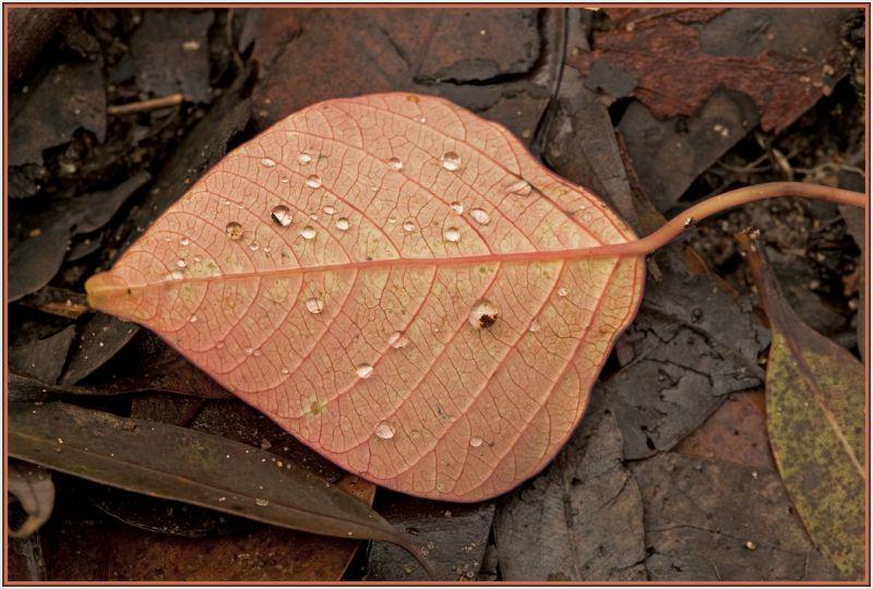Raindrops on autum leave