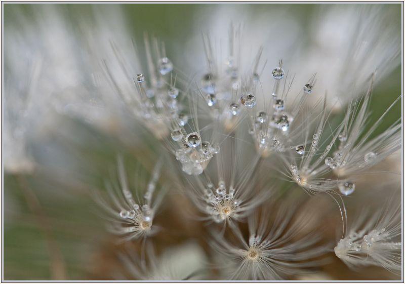 Early morning dews on dandelion