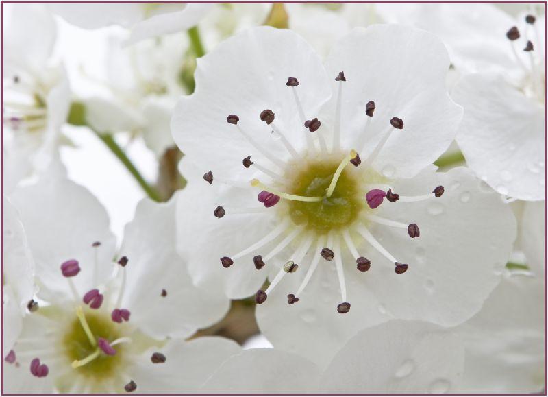 white cherry bloosom