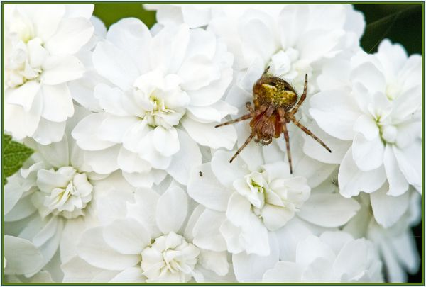 spider on white flower