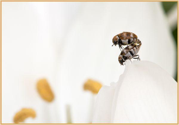 beetles on white flower