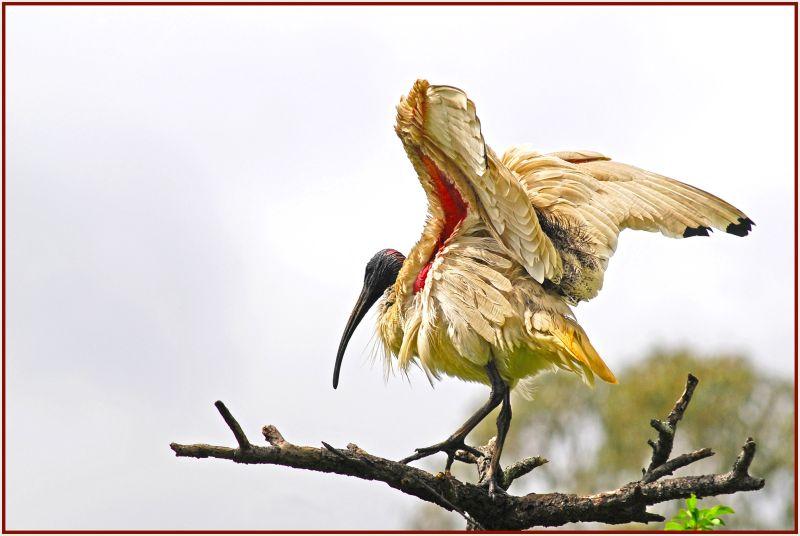 ibis on tree top
