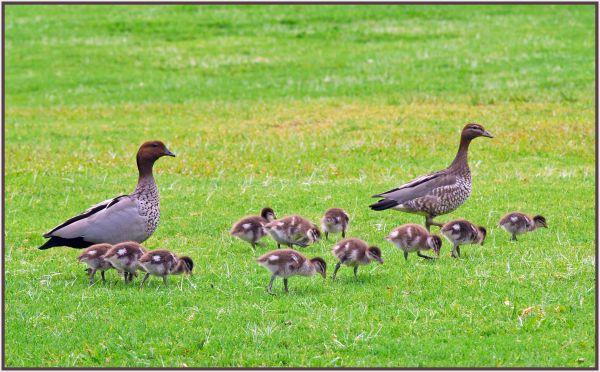 Australian woodduck family