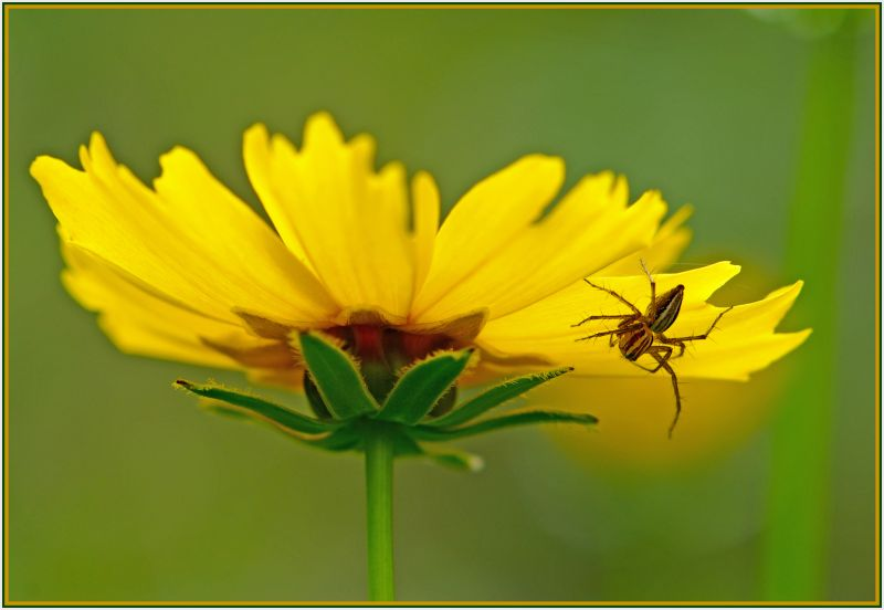 yellow daisy and spider