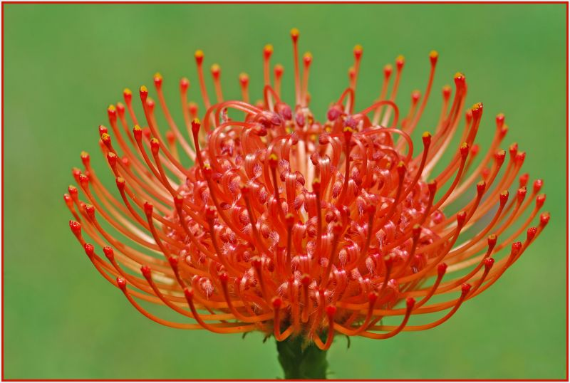 red banksia