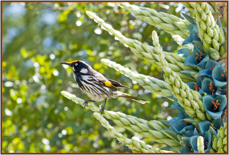 Australian bird in Chile plant