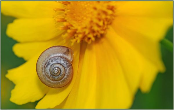snail on yellow daisy