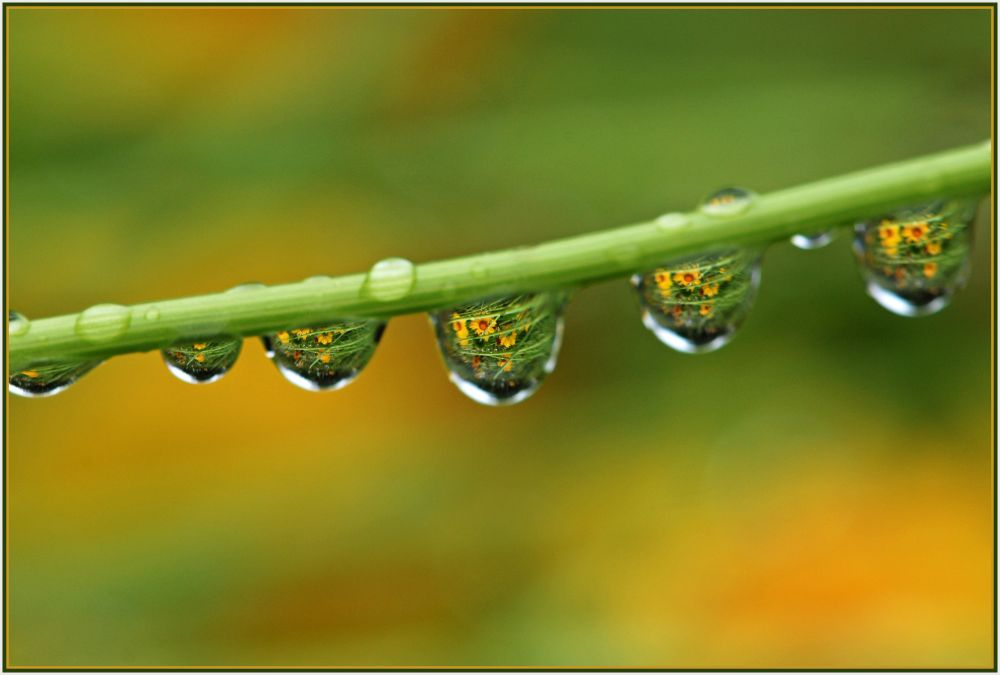 yellow daisy in water drops
