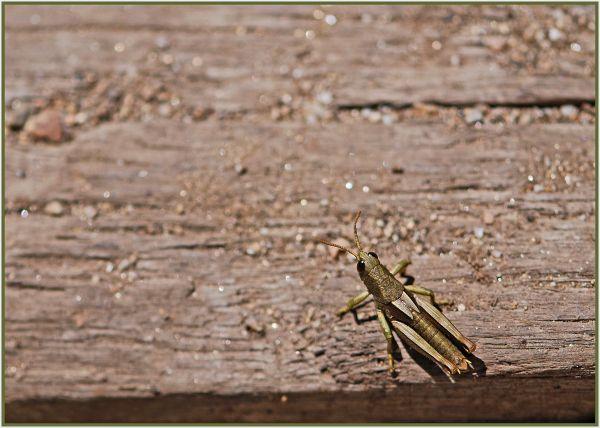 Grasshopper in Snowy Mountains