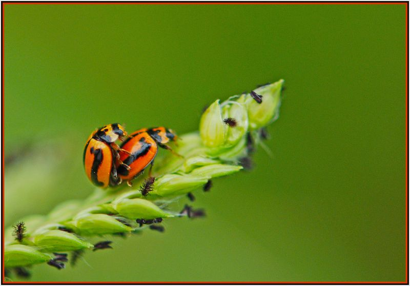 orange beetles