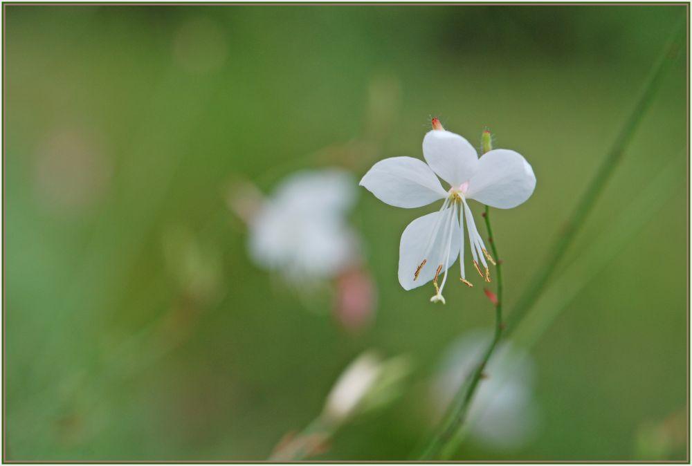 whitte flower
