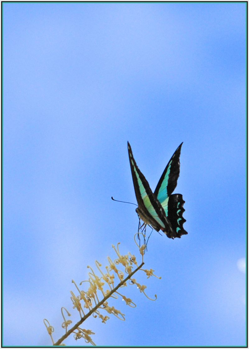 blue buterfly
