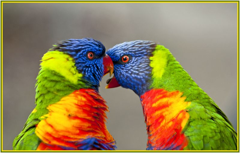 Intimate rainbow lorikeets