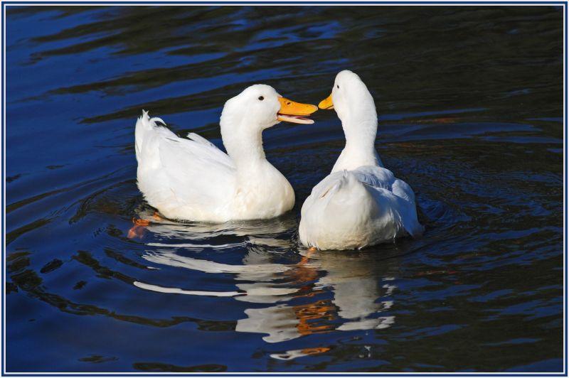 white ducks 2
