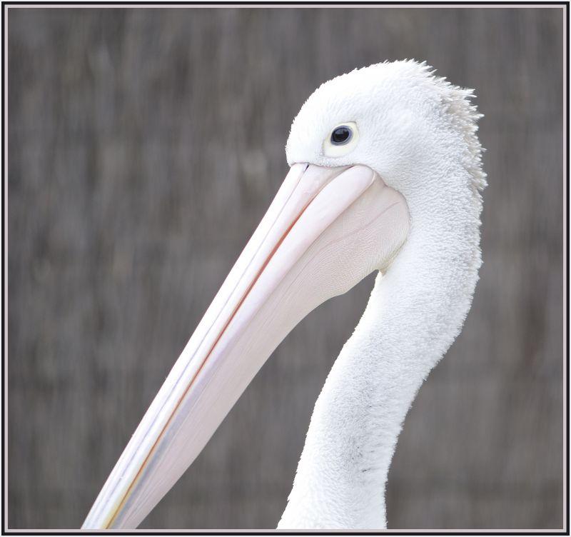 Pelikan close up