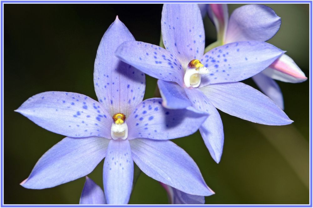 small wild orchid