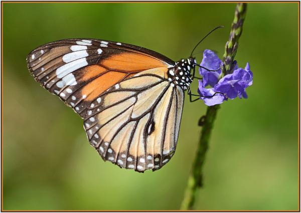 Butterfly Hong Kong Wetland Park
