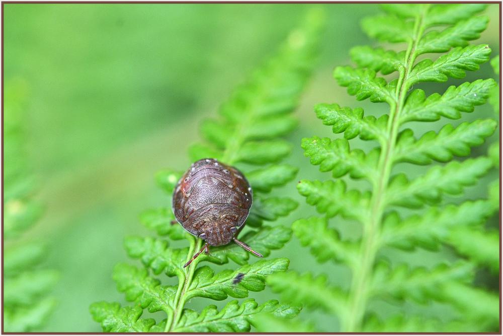 round brown bug