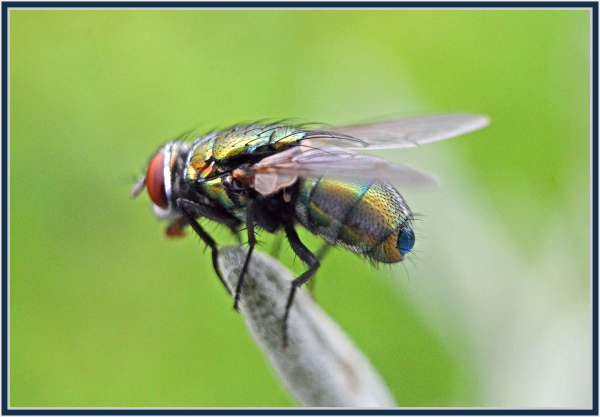 close encounter with a hairy fly