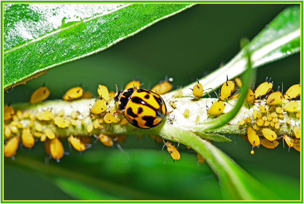 beetle family
