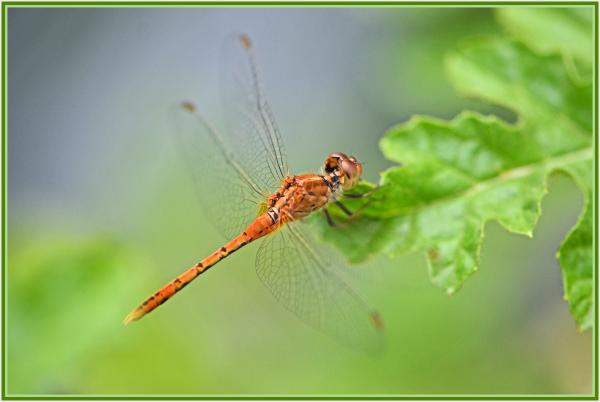 orange dragongonfly