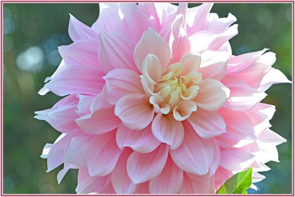 pink dihilia