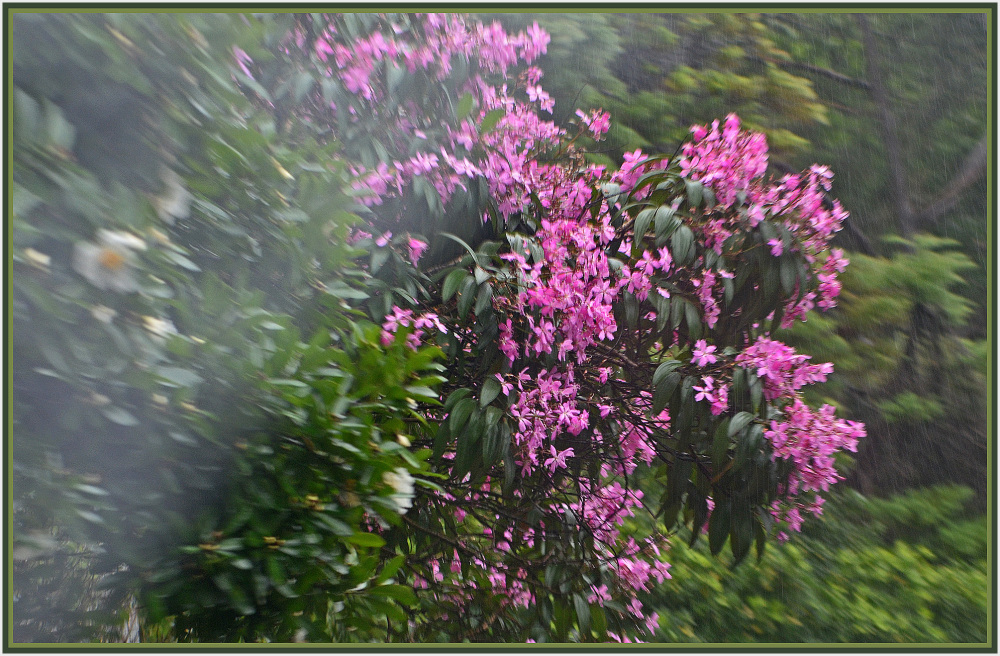 pink flowers in the rain