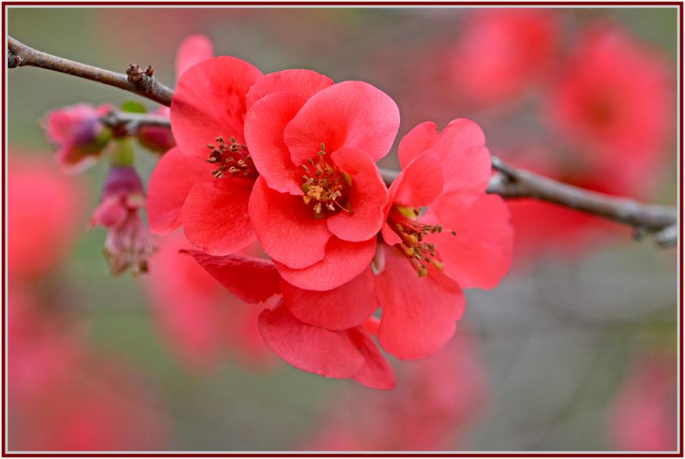 Red cherry bloosom
