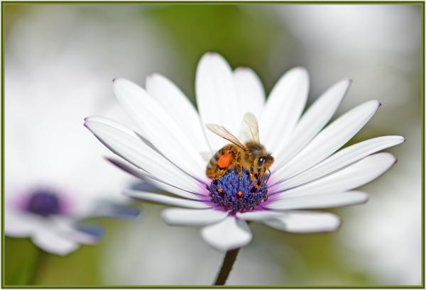 bee on white daisy