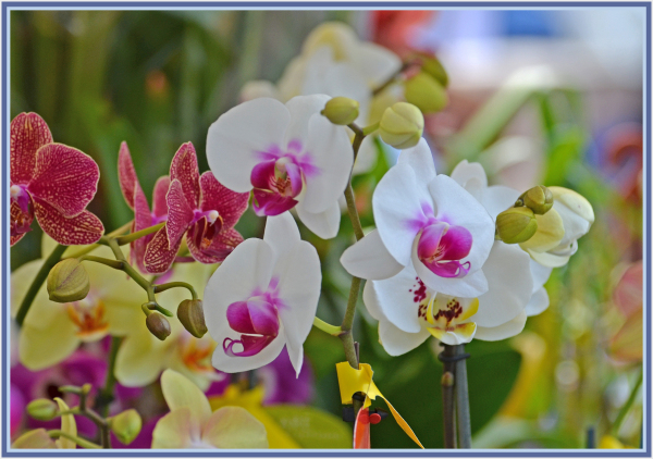 orchid in spring festival
