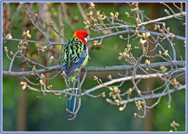 colorful bird in Canberra