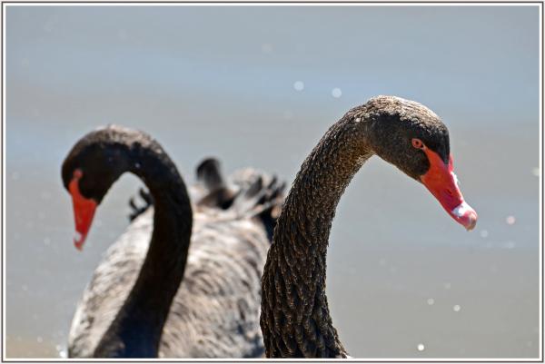 black swans in Canberra