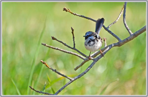 Blue bird in Canberra