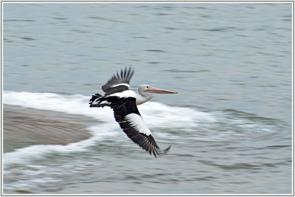 Pelikan in Narabeen