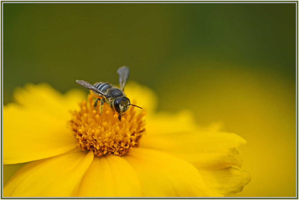 Bee with pollen on yellow flower