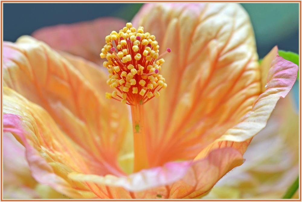 orange latern flower