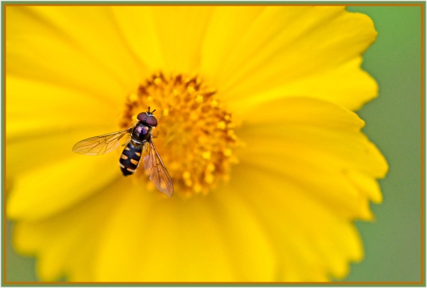 little fly on yellow daisy