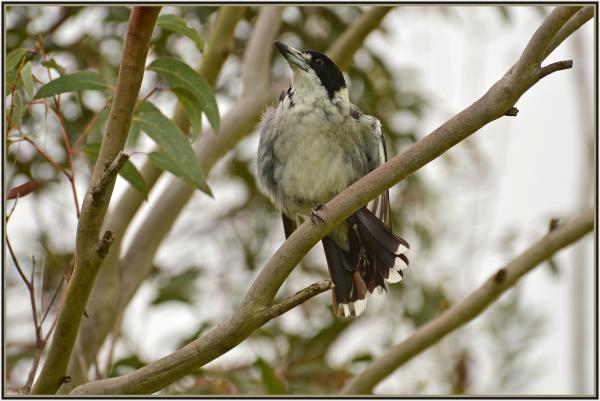grey brucher bird