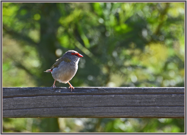 red brown finch