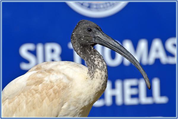 ibis close up