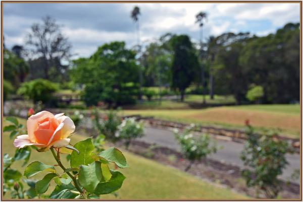 Orange rose in Parramatta Park