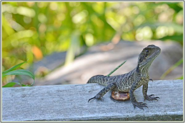 baby water dragon