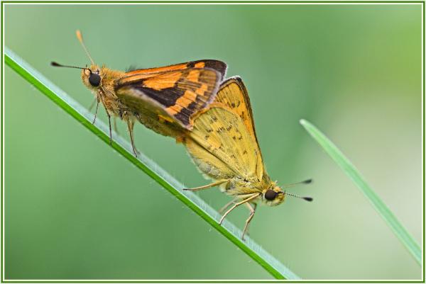 small butterflies