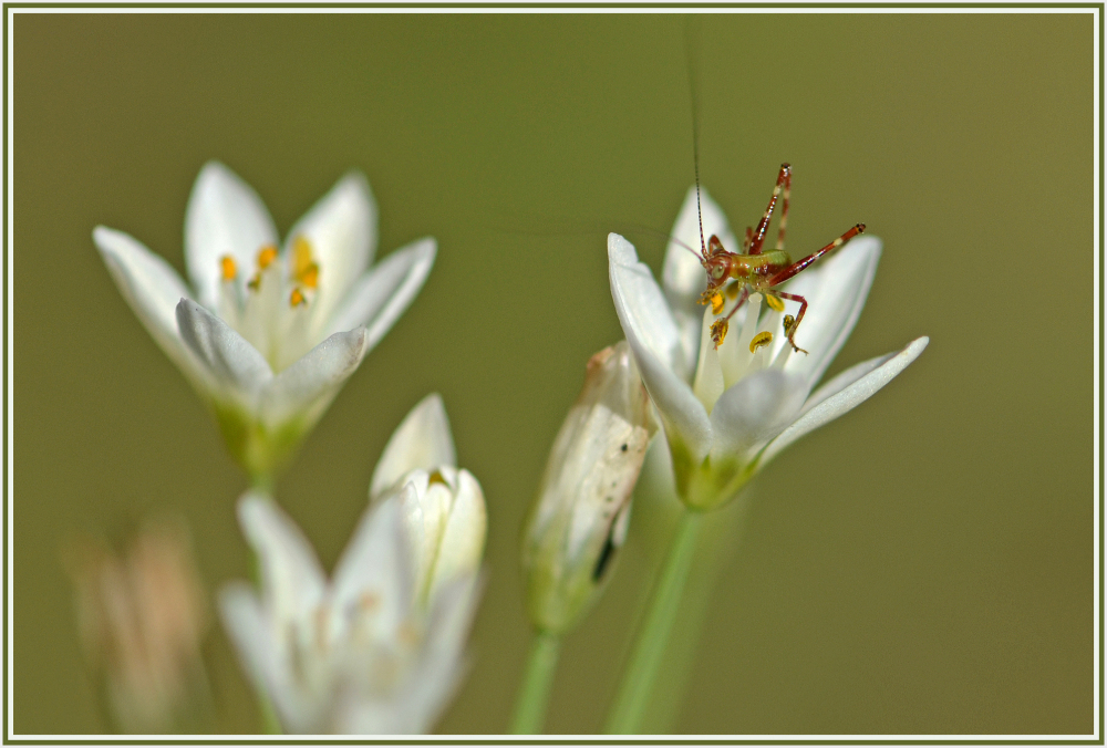 small grasshopper on white wild flower
