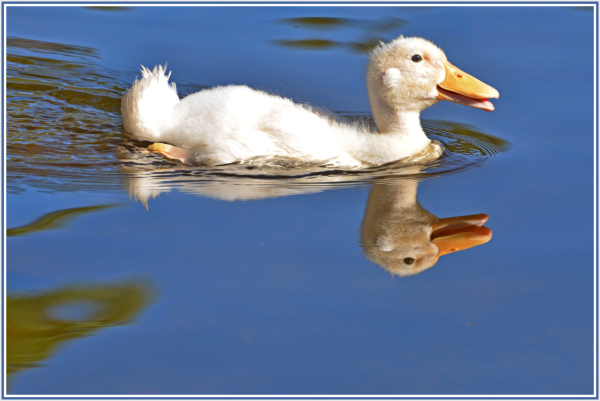 Aminus3 Color Featured photo duckling | 20 April 2013