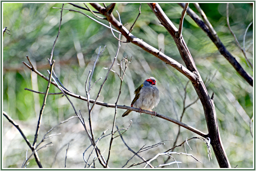 red brow finch
