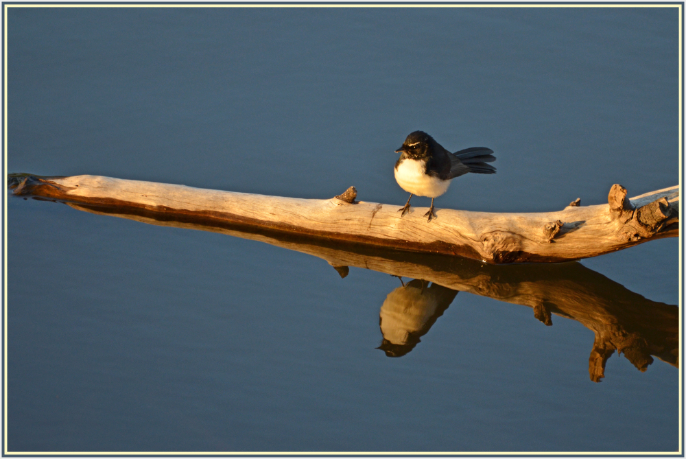 black and white wren at sunset